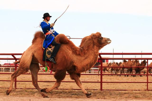 """阿拉善盟为何被称为""""中国骆驼之乡""""?揭秘内蒙古不一样的那达慕"""