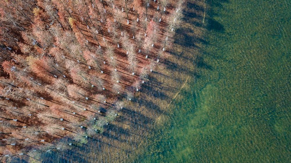 这是在湖南松雅湖国家湿地公园拍摄的水杉(12月30日无人机照片)。